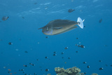 Spotted Unicornfish Swimming in Fiji Waters Photographic Print by  Stocktrek Images