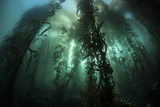 Giant Kelp (Macrocystis Pyrifera) Grows Off the Coast of California Photographic Print by  Stocktrek Images