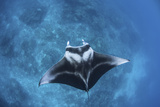 A Large Reef Manta Ray Swims Through Clear Water in Raja Ampat Photographic Print by  Stocktrek Images