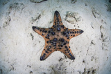 A Colorful Chocolate Chip Sea Star on the Seafloor of Indonesia Photographic Print by  Stocktrek Images