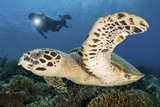 A Diver Swims Alongside a Hawksbill Sea Turtle Off of Indonesia Photographic Print by  Stocktrek Images