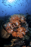 Beautiful Orange Soft Corals on a Current-Swept Reef in Indonesia Photographic Print by  Stocktrek Images