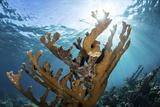 Elkhorn Coral Grows on a Healthy Reef in the Caribbean Sea Reprodukcja zdjęcia autor Stocktrek Images