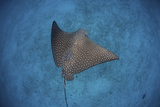 A Spotted Eagle Ray Swims over the Seafloor Near Cocos Island, Costa Rica Photographic Print by  Stocktrek Images