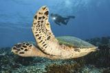 A Diver Swims Alongside a Hawksbill Sea Turtle Off of Indonesia Fotoprint van Stocktrek Images,