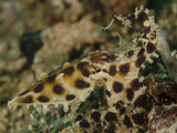 Blue-Ringed Octopus, Lembeh Strait, Indonesia Photographic Print by  Stocktrek Images