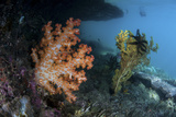 A Soft Coral Colony and Invertebrates in Raja Ampat, Indonesia Photographic Print by  Stocktrek Images