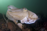 Full Body View of a Broadclub Cuttlefish Amongst a Reef Fotoprint van Stocktrek Images,