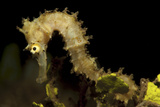 Side View of a Pale Cream Colored Thorny Seahorse Lámina fotográfica por Stocktrek Images,