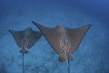 Spotted Eagle Rays Swim over the Seafloor Near Cocos Island, Costa Rica Photographic Print by  Stocktrek Images