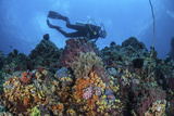 A Scuba Diver Swims Above a Colorful Coral Reef Near Sulawesi, Indonesia Fotografisk tryk af Stocktrek Images,