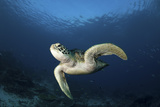 A Green Turtle Swimming in Komodo National Park, Indonesia Photographic Print by  Stocktrek Images