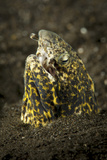 Marbled Snake Eel Emerging from Black Volcanic Sand Photographic Print by  Stocktrek Images