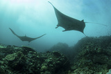 Manta Rays Swims Through a Current-Swept Channel in Indonesia Fotografisk tryk af Stocktrek Images