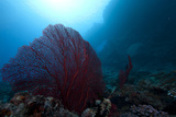 Large Red Gorgonian Sea Fan on a Fijian Reef Photographic Print by  Stocktrek Images