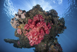 A Soft Coral Colony Grows on a Shipwreck Off the Island of Guadalcanal Photographic Print by  Stocktrek Images
