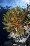 A Colorful Crinoid Clings to a Reef Dropoff in Raja Ampat Photographic Print by  Stocktrek Images