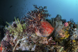A Colorful Sea Apple Clings to a Reef in Indonesia Reprodukcja zdjęcia autor Stocktrek Images