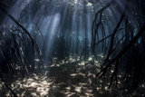 Stocktrek Images - Beams of Sunlight Filter Among the Prop Roots of a Mangrove Forest Fotografická reprodukce