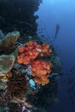 A Beautiful Soft Coral Colony Grows on a Reef Wall in Indonesia Reprodukcja zdjęcia autor Stocktrek Images