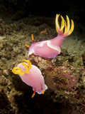A Pair of Pink Nudibranchs, Lembeh Strait, Indonesia Photographic Print by  Stocktrek Images