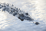 A Large American Crocodile Surfaces in a Lagoon Photographic Print by  Stocktrek Images