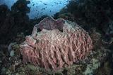 A Massive Barrel Sponge Grows N the Solomon Islands Photographic Print by  Stocktrek Images