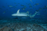 A Large Tawny Nurse Shark on a Deep Fijian Reef Photographic Print by  Stocktrek Images