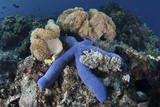 A Blue Starfish Clings to a Coral Reef in Indonesia Photographic Print by  Stocktrek Images
