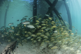 School of Grunt Fish Beneath a Pier on Turneffe Atoll, Belize Photographic Print by  Stocktrek Images
