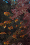 Scalefin Anthias Fish in Beqa Lagoon, Fiji Photographic Print by  Stocktrek Images