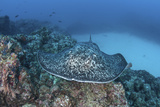 A Large Black-Blotched Stingray Near Cocos Island, Costa Rica Photographic Print by  Stocktrek Images