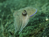 Golden Cuttlefish, Lembeh Strait, Indonesia Photographic Print by  Stocktrek Images