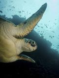 Green Turtle, Bunaken Marine Park, Indonesia Fotoprint van Stocktrek Images,