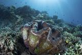 A Giant Clam Grows on a Reef in Raja Ampat Reprodukcja zdjęcia autor Stocktrek Images
