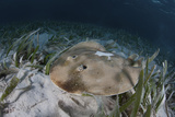 An Electric Ray on the Seafloor of Turneffe Atoll Off the Coast of Belize Fotografisk tryk af Stocktrek Images