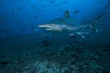 Silvertip Shark at the Bistro Dive Site in Fiji Photographic Print by  Stocktrek Images
