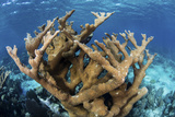 Elkhorn Coral Grows on a Healthy Reef in the Caribbean Sea Photographic Print by  Stocktrek Images