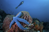 A Blue Starfish Clings to a Barrel Sponge in Indonesia Photographic Print by  Stocktrek Images