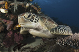 A Green Turtle Resting on a Reef Top in Komodo National Park, Indonesia Photographic Print by  Stocktrek Images