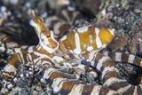 A Wonderpus Octopus Crawls across a Sand Slope Reprodukcja zdjęcia autor Stocktrek Images