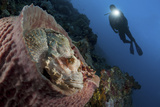 A Diver Looks on at a Tassled Scorpionfish Lying in a Barrel Sponge Reprodukcja zdjęcia autor Stocktrek Images