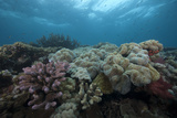 Healthy Corals Cover a Reef in Beqa Lagoon, Fiji Photographic Print by  Stocktrek Images