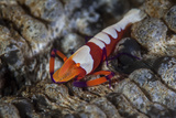 A Colorful Emperor Shrimp Sits Atop a Sea Cucumber Photographic Print by  Stocktrek Images