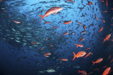 Schooling Fish Swim Near Cocos Island, Costa Rica Photographic Print by  Stocktrek Images