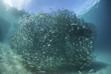 A Large School of Scad in the Solomon Islands Photographic Print by  Stocktrek Images