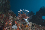 A Large Common Lionfish Swimming at Beqa Lagoon, Fiji Photographic Print by  Stocktrek Images