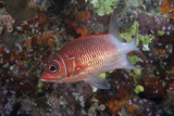 Tailspot Squirrelfish Swimming in Fiji Photographic Print by  Stocktrek Images