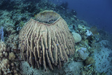 A Massive Barrel Sponge Grows on a Reef Near Alor, Indonesia Photographic Print by  Stocktrek Images
