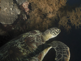 Green Turtle, Bunaken Marine Park, Indonesia Photographic Print by  Stocktrek Images